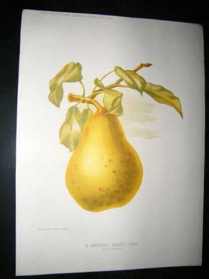 Amateur Gardening 1892 Botanical Print. A December Dessert Pear, Fruit. | Albion Prints